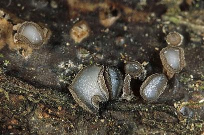 Fuckels Büschelbecherling Encoelia fuckelii