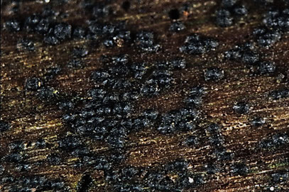 Lophiostoma vagabundum