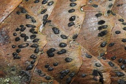 Phragmotrichum chailletii