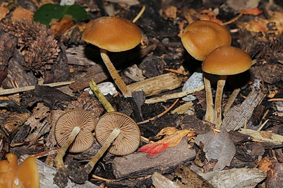 Agrocybe arvalis