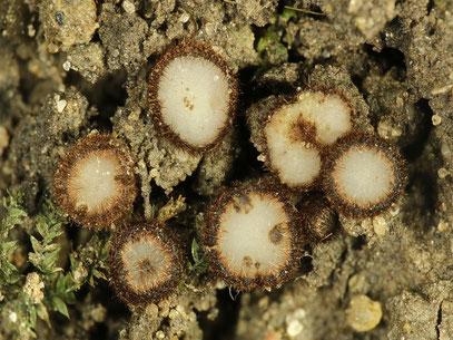 Trichophaeopsis paludosa-Sumpfborstling