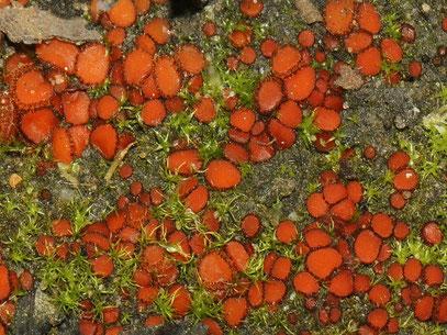 Scutellinia torrentis