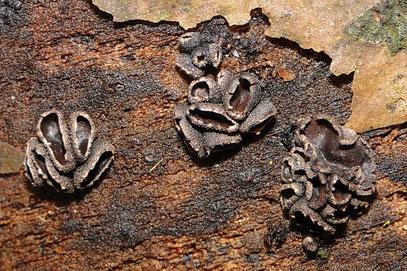 Schwarzbrauner Pappel-Büschelbecherling Encoelia fasciculare