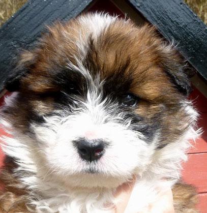 Elo rau kindergeeignet Schulhund Therapiehund
