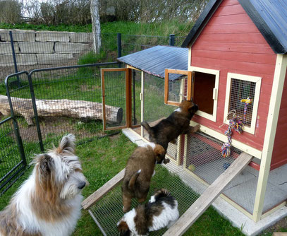Prägen der Welpen Sozialisierung Welpe Zucht Elo Familienhund