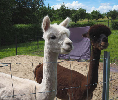 Alpaka Tiergestützte Therapie
