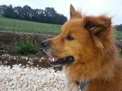 Elo Groß Glatt großer kleiner mittel lang Therapiehund Begleithund