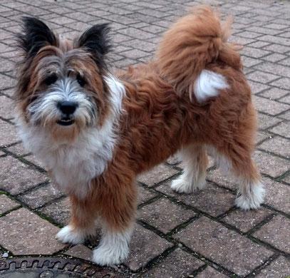 Schulhund, Therapie, Mehrhundehaltung zweiter Hund Rasse
