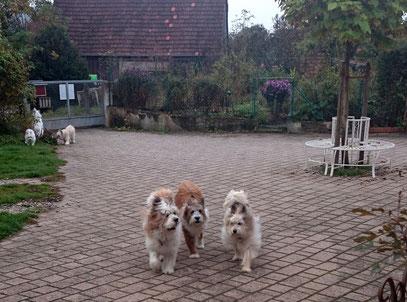 Mehrhundehaltung zweiter Hund Rasse im Rudel