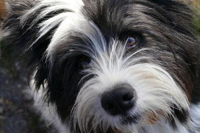 Rasse Besuchshund Therapiehund