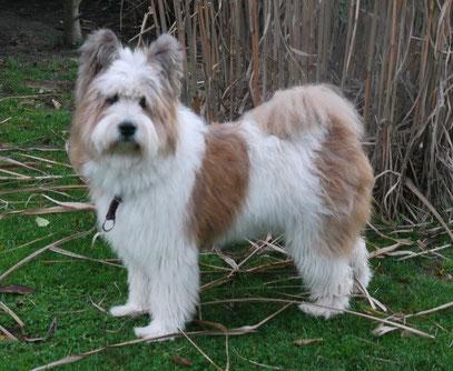 großer Familienhund wuschelig Assistenz Schulhund Therapie Service