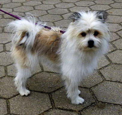 Kleiner Hund Kinder freundlich lustig Rasse unter 40 cm