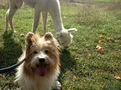 Alpaka Elo Hund freundlich einfach mittelgroß nicht haarend