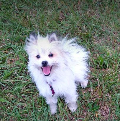 Klein Elo Rau wuschelig kleinbleibender Familienhund pflegeleicht