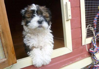 Wuscheliger Hund klein Elo Welpe