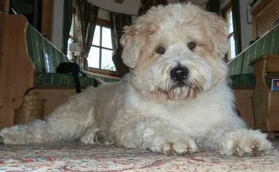 Hund mittelgroß groß wuschelig lockig Familie Kind Senioren