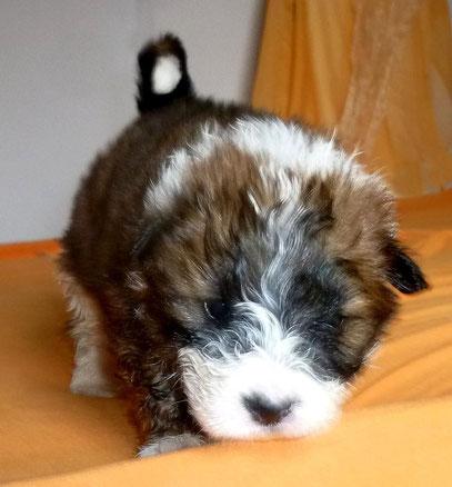 Familienhund Welpe Elo klein