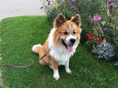 Elo Groß mittelgroß Langhaar Kurzhaar Familienhund Samu-Timo von Werths Echte