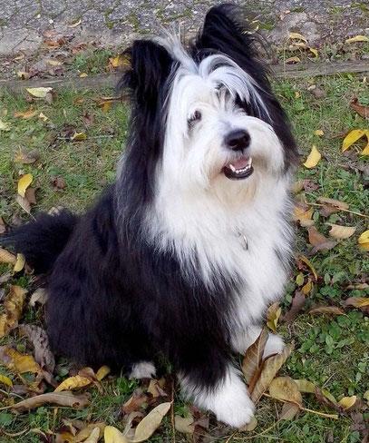Elo Hund Rau wuschelig Familie mittelgroß Züchter Welpen