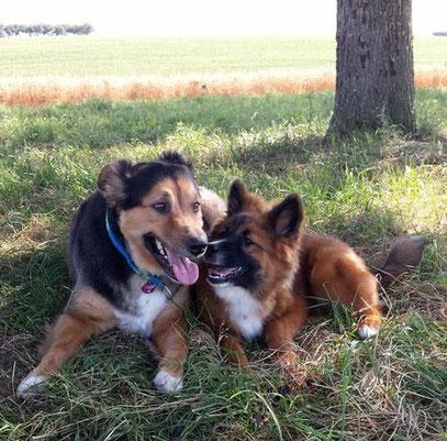 Familienhund Elo Glatt Junghund