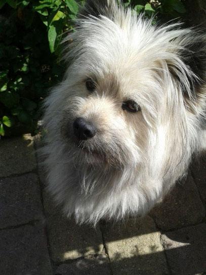Kleiner Familienhund Elo glatt rau wuschelig lockig