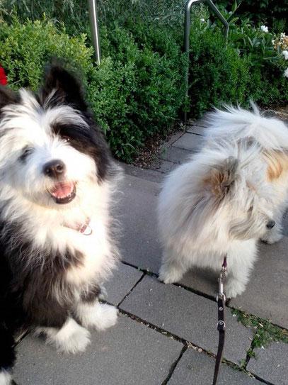 Elo Groß Rau Familienhund kindergeeignete Hunderasse
