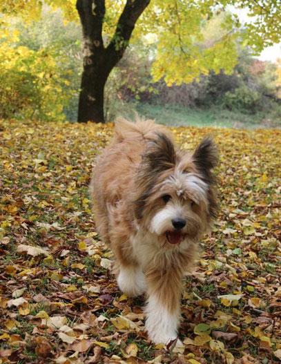 Familienhund Elo Rauhaar Junghund