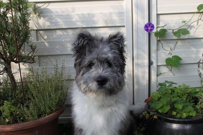 Familienhund Elo mittelgroß Rau Glatt wuschelig langhaar