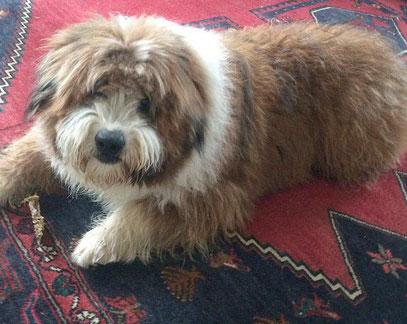 Wuscheliger Familienhund klein mittelgroß groß