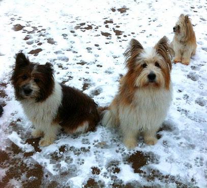 Elo Rau Glatt Welpe Züchter erwachsener Hund