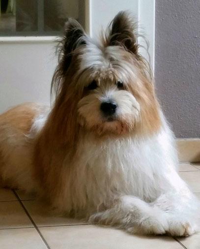 Elo Familienhund Rauhaar