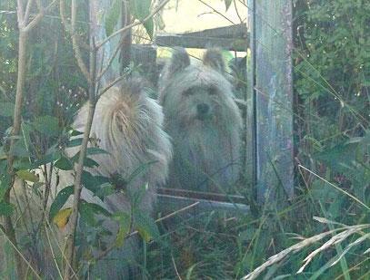 Klein Elo Rau Glatt kleiner wuscheliger Familienhund