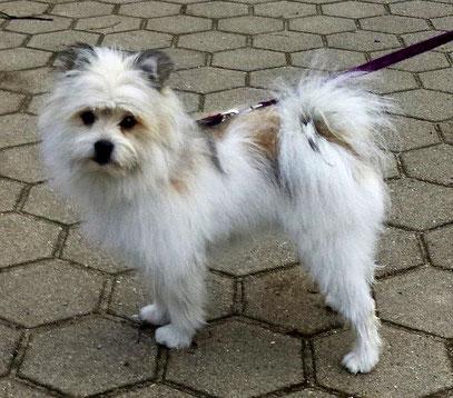 Kleinbleibende Hunderasse Elo Familienhund pflegeleicht
