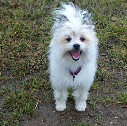 Kleiner Hund wuschelig stadt