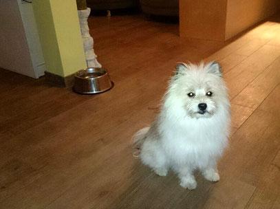 Kleiner Familienhund Rasse für Servicehund Therapie Assistenz Diabetiker