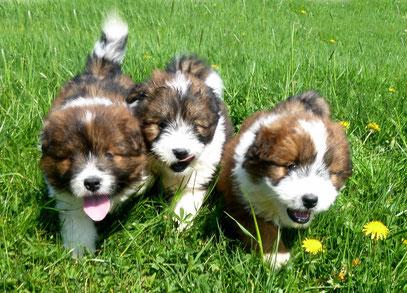 ´Welpe Familienhund mittelgroß