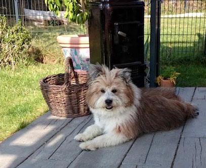 Genügsame Hunderasse Familienhund wuschelig nicht haarend
