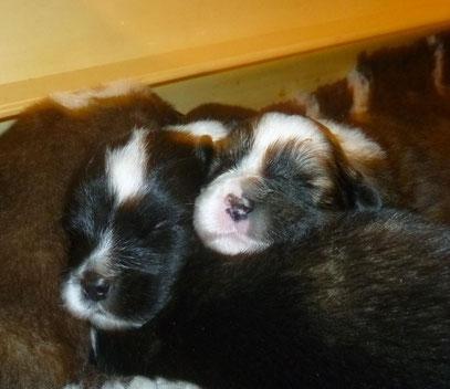 Elo-Welpen Familienhund