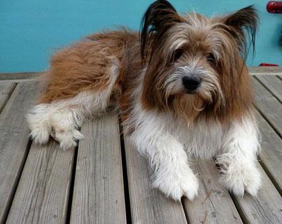 Hund wuschelig langhaar allergikerfreundlich freundlich