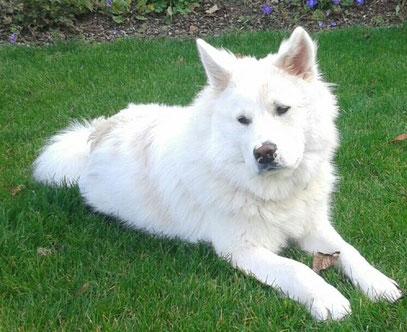Signalhund Elo Glatt