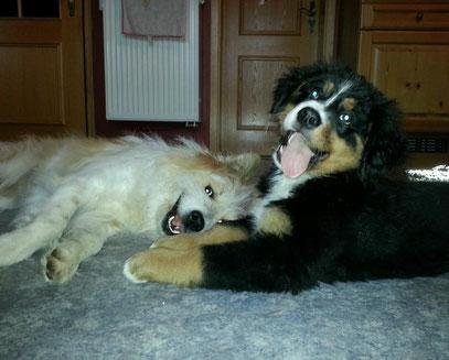 Elo Berner Sennenhund