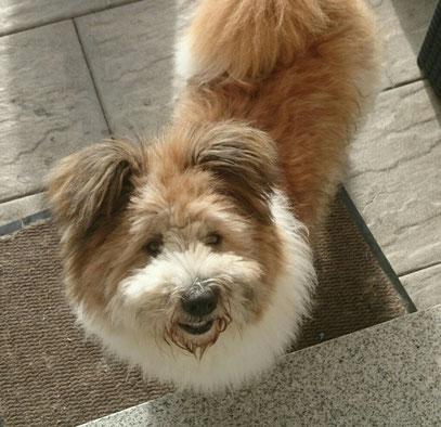 Wuscheliger kinderlieber Familienhund mittelgroß kaufen