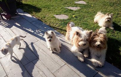 Familienhund wuschelig klein groß mittel katzenfreundlich