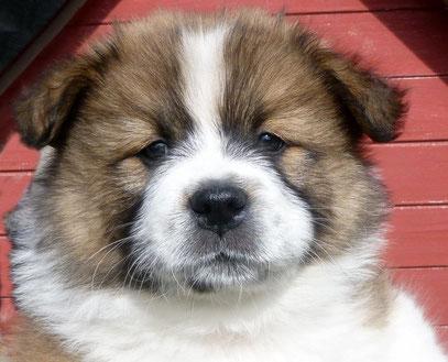 Freundliche Hunderasse 50 cm