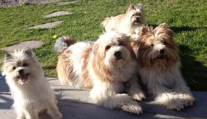 Familienhund klein groß wuschelig langhaar