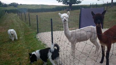 Elos Familienhunde Glatt und Rau mit Alpakas