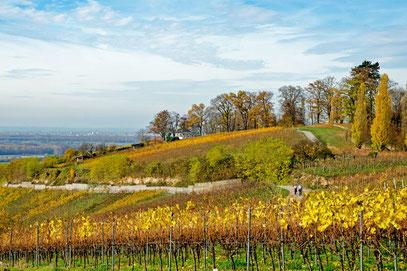 Weinberge bei Bensheim