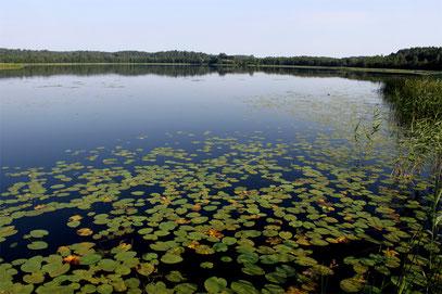 Кицковское озеро со стороны деревни Гвозды. После Великой Отечественной войны озеро стали называть Гвоздовским.