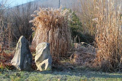 Miscanthus sinensis 'Malepartus' en hiver  © P.Lamour