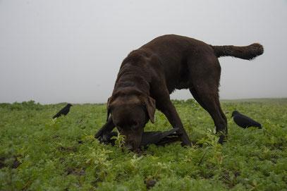 Brauchbarer Jagdhund für das Apportieren von Krähen bei der Krähenjagd